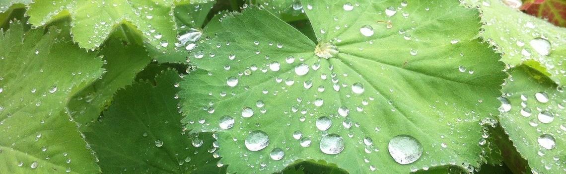 Frauenmanten-nach-dem-letzten-Regen